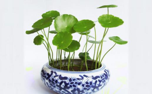 招财又旺宅的植物有哪些?风水中最聚财植物推荐