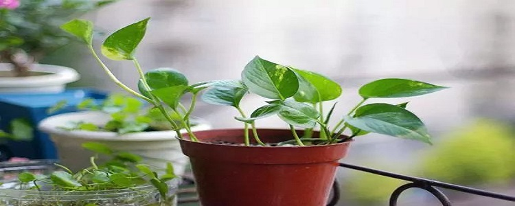 绿萝有毒吗 能在室内养吗