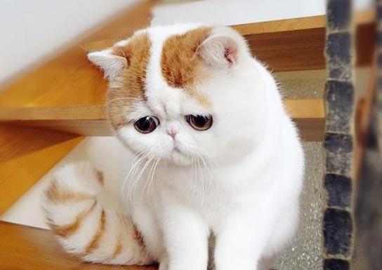抖音上最火的网红猫排名